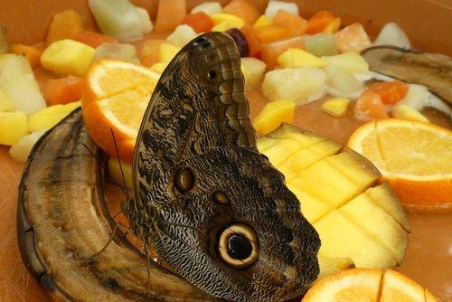 butterfly  fruit  food