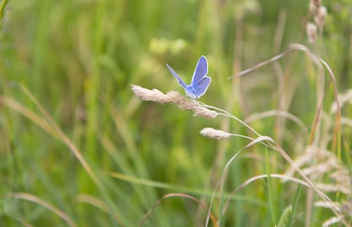 butterfly  meadow meadow  grass