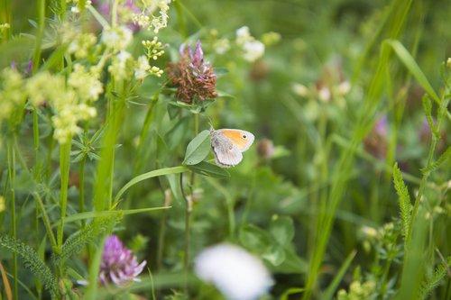 butterfly  meadow  summer