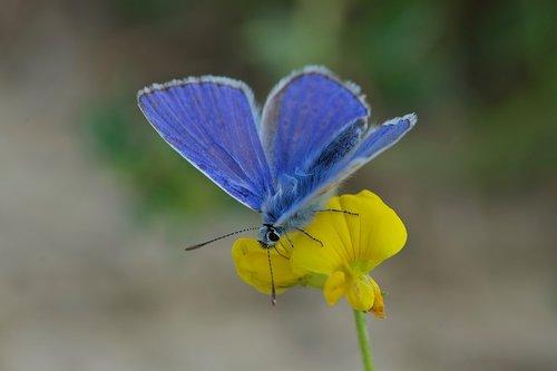 butterfly  azure  male