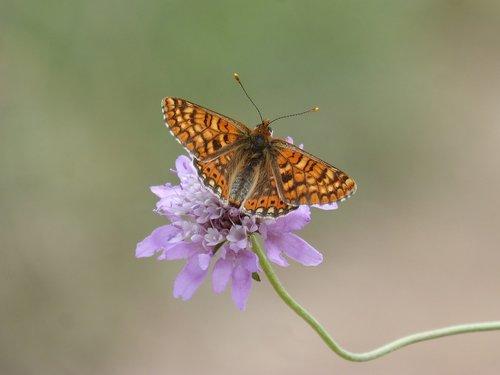 butterfly  damero knapweed  melitaea phoebe