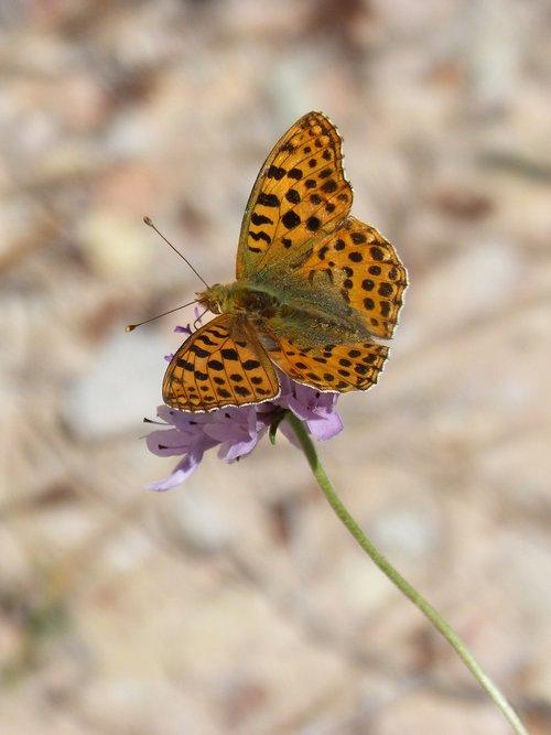 butterfly  orange butterfly  argynnis fabricius