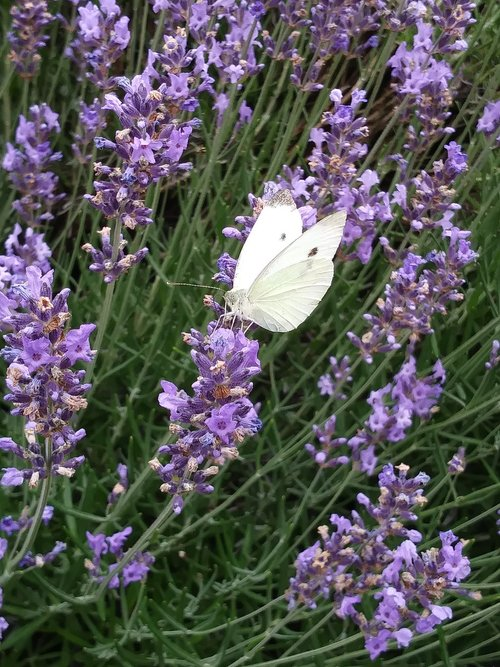 butterfly  lavender  white ling