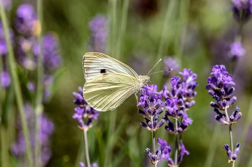 butterfly  small cabbage white ling  pieris rapae