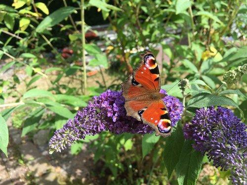 butterfly  summer  blossom