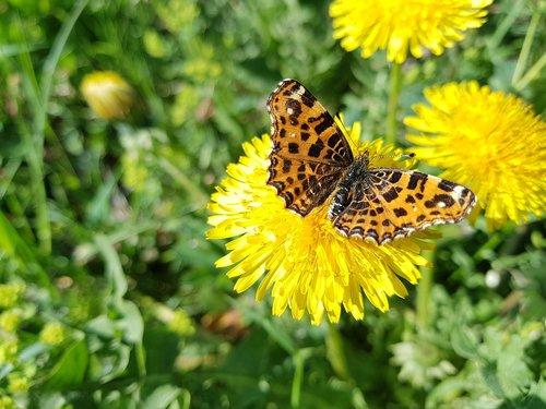 butterfly  dandelions  meadow