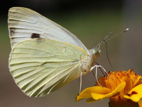 butterfly  white  flower