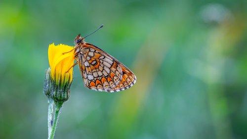 butterfly  the metalmark  flower