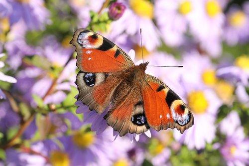 butterfly  european peacock  peacock butterfly