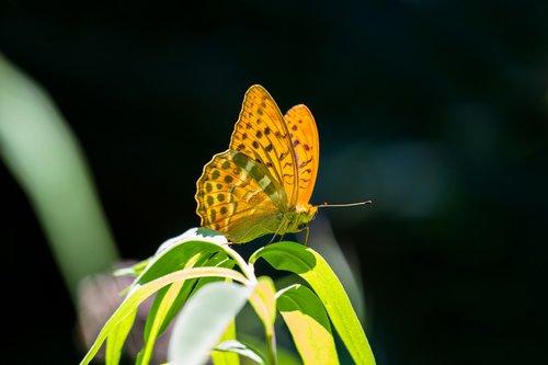 butterfly  fritillary  drexel