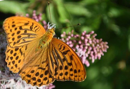 butterfly  fritillary  butterflies