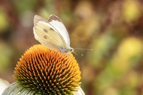 butterfly  white ling  small cabbage white ling