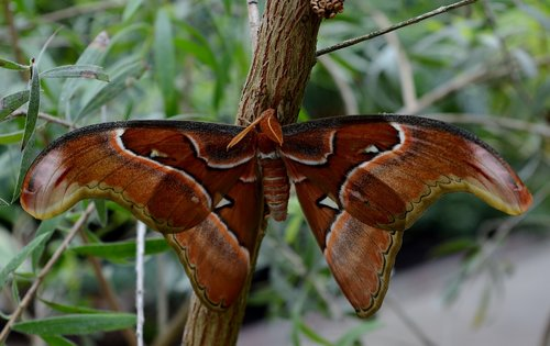 butterfly  atlas moth  exotic