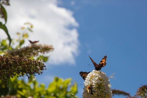 butterfly  butterfly bush  bug