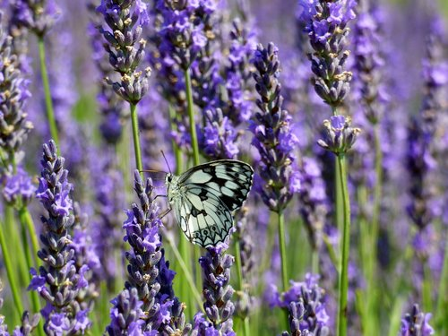 butterfly  white  lavender