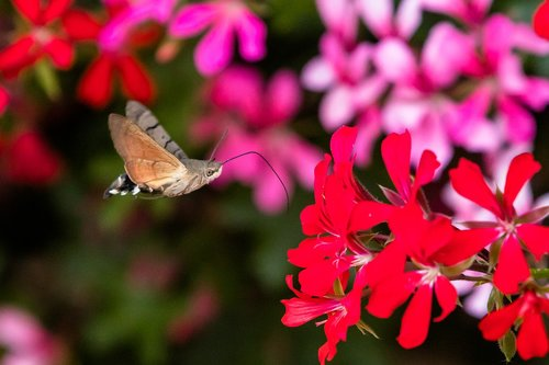 butterfly  hummingbird hawk moth  insect