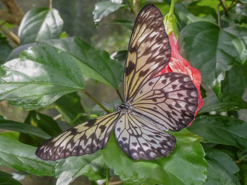 butterfly  aruba  animals