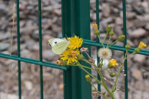 butterfly  fence  flower