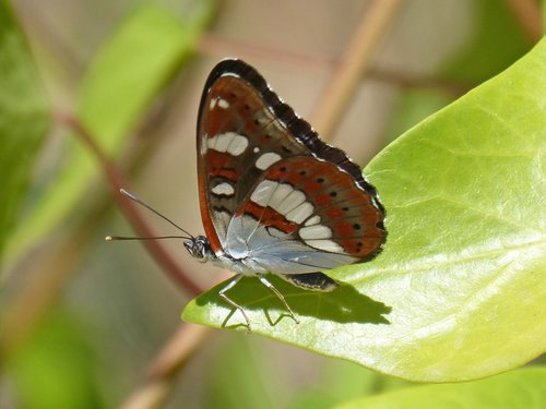 butterfly  nymph streams  limenitis reducta