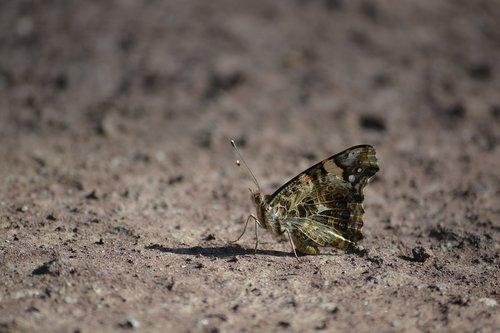 butterfly  earth  fauna