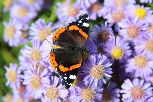 butterfly  butterfly red admiral  vulcan