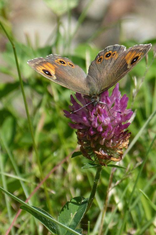 butterfly brown eye lasiommata maera