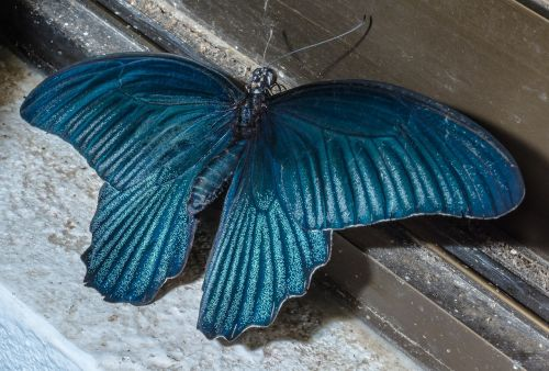 butterfly insect blue