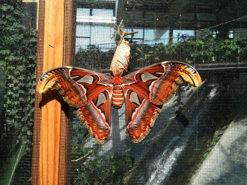 butterfly atlas moth attacus atlas