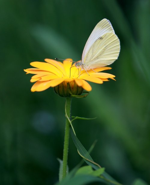 butterfly  flower  yellow