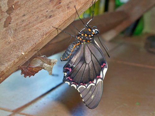 butterfly  paraguay  animal