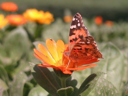 drugelis,gėlė,pavasaris,gamta,vasara,gražus,vabzdys,sodas,grožis,oranžinė