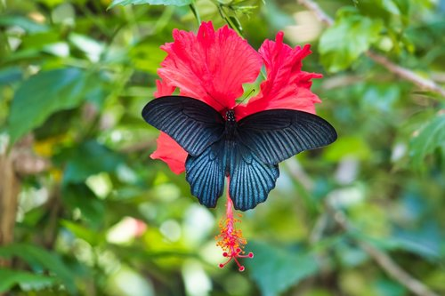 butterfly  black  thailand