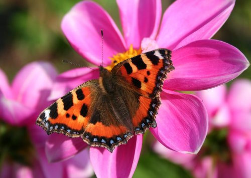 butterfly  pink  red admiral