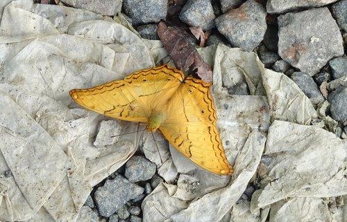 butterfly  andaman cruiser  vindula pallida