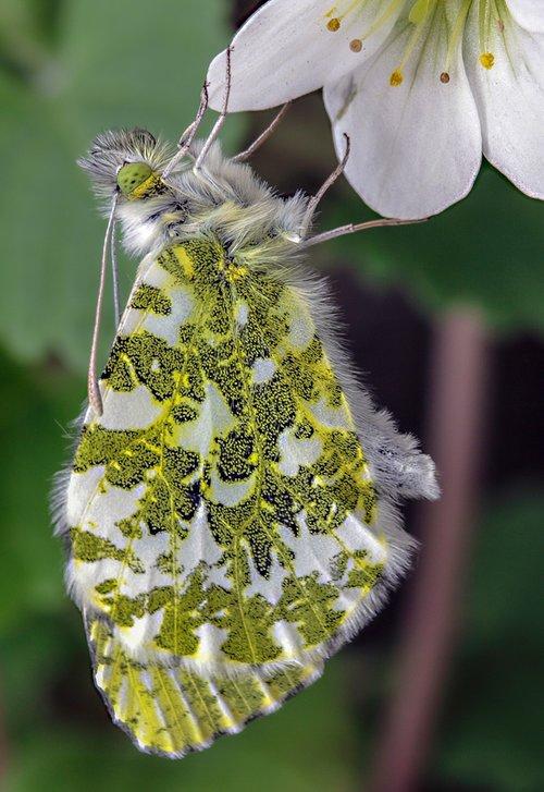 butterfly  orange-tip  wildlife