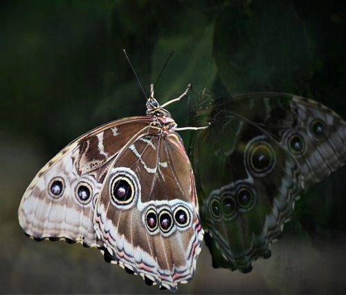 butterfly  edelfalter  owl butterfly