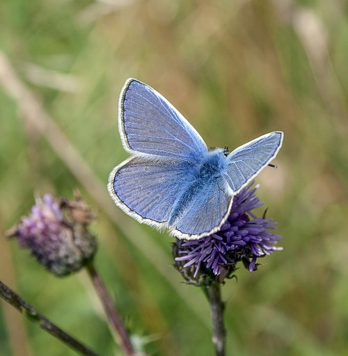 butterfly  common-blue  insect