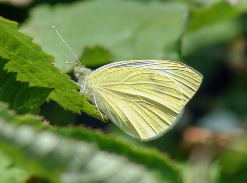 butterfly  large white  wings