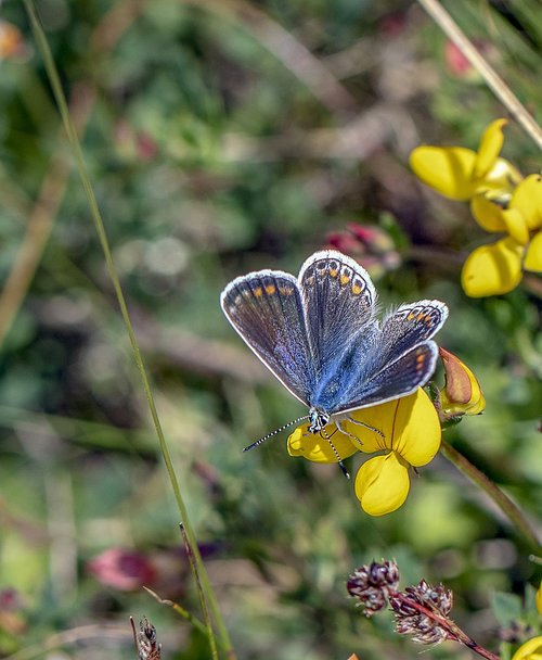 butterfly  common blue  insect