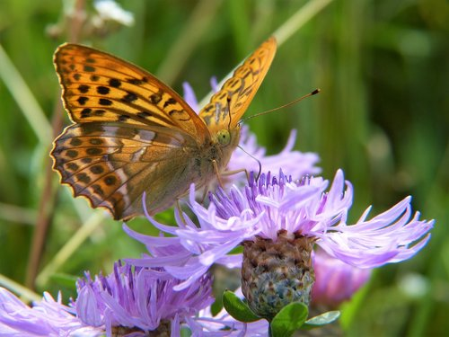 butterfly  fritillary  close up
