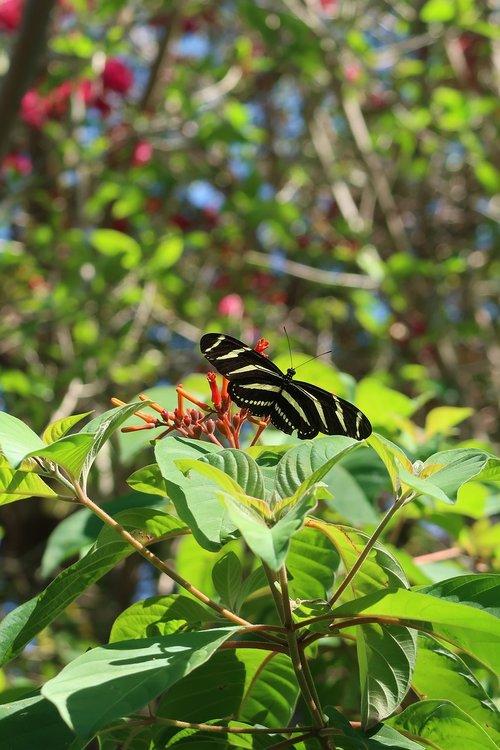 butterfly  zebra  zebra longwing butterfly
