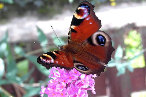 butterfly  inachis  painted peacock