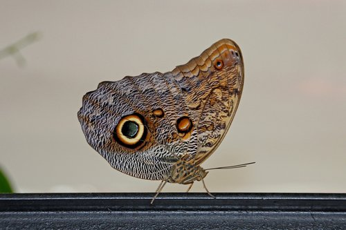 butterfly  wing  animal