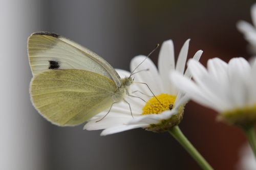 butterfly white large cabbage white ling
