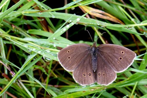 butterfly chimney sweep satyrinae