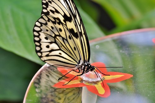 butterfly  tropical butterfly  exotic
