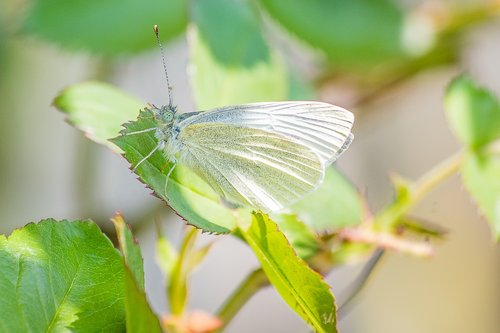 butterfly  insect  white ling