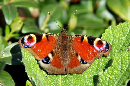 butterfly  butterflies  peacock