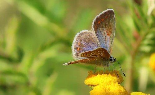 butterfly  common blue  meadow