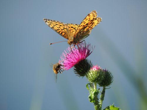 butterfly fritillary large fritillary